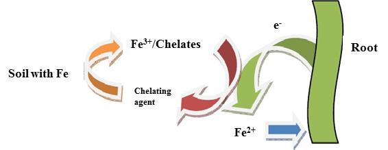 Chelating agents to treat the iron chlorosis – Definition and mechanism of action