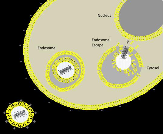 NABDs-liposomes delivery mechanism
